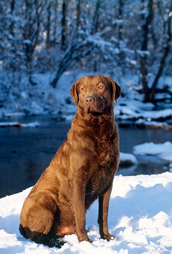 DOG 06 LS0003 01 © Kimball Stock Chesapeake Bay Retriever Sitting On Snow By River In Woods