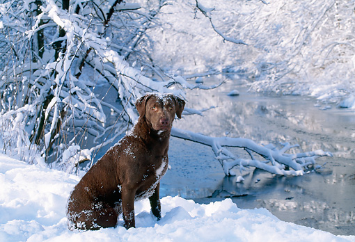 DOG 06 LS0004 01 © Kimball Stock Chesapeake Bay Retriever Sitting On Snow By Stream In Woods