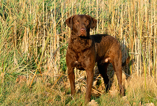 DOG 06 LS0005 01 © Kimball Stock Chesapeake Bay Retriever Standing By Reeds