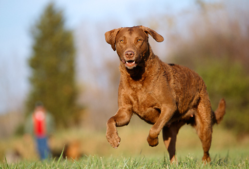 DOG 06 LS0006 01 © Kimball Stock Chesapeake Bay Retriever Running On Grass Toward Camera