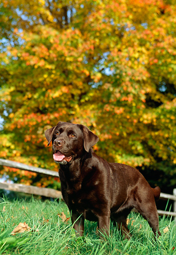 DOG 06 LS0010 01 © Kimball Stock Chesapeake Bay Retriever Standing In Grass By Autumn Tree