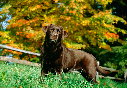 DOG 06 LS0011 01 © Kimball Stock Chesapeake Bay Retriever Standing In Grass By Autumn Tree