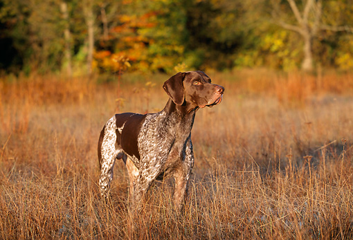 DOG 06 LS0014 01 © Kimball Stock German Shorthaired Pointer Standing In Field Autumn