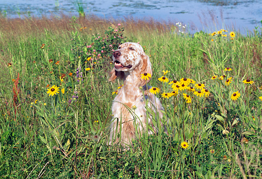 DOG 06 LS0018 01 © Kimball Stock English Setter Sitting In Field By Yellow Flowers And Stream