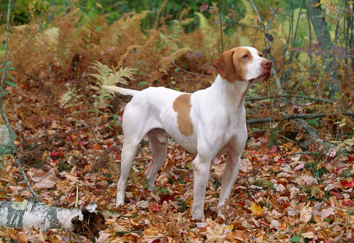 DOG 06 LS0021 01 © Kimball Stock English Pointer On Point In Fallen Leaves In Woods