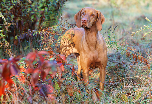 DOG 06 LS0025 01 © Kimball Stock Vizsla Standing In Field