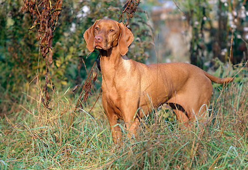DOG 06 LS0026 01 © Kimball Stock Vizsla Standing In Field