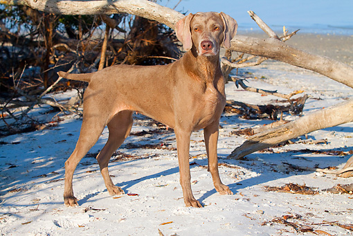 DOG 06 LS0030 01 © Kimball Stock Weimaraner Standing On Snow By Fallen Tree