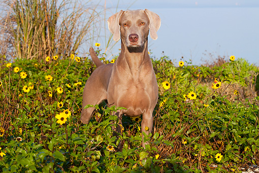 DOG 06 LS0032 01 © Kimball Stock Weimaraner Standing In Yellow Flowers And Shrubs