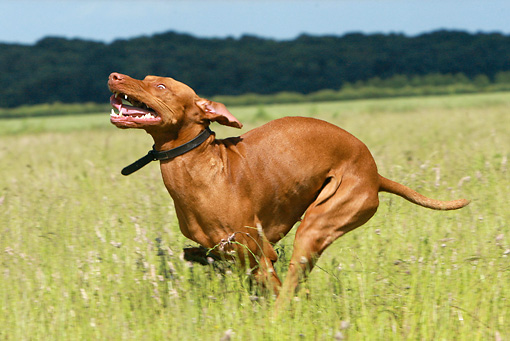 DOG 06 NR0022 01 © Kimball Stock Vizsla Running Through Field