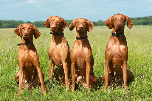 DOG 06 NR0024 01 © Kimball Stock Four Vizslas Sitting In Field