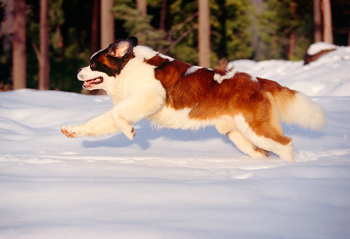 DOG 06 RK0026 04 © Kimball Stock Profile Shot Of St.Bernard Running On Snow By Trees