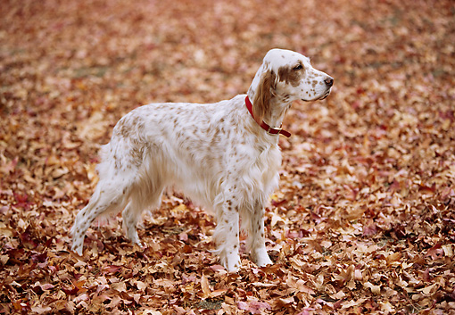 DOG 06 RK0049 08 © Kimball Stock English Setter Dog Standing On Fall Leaves
