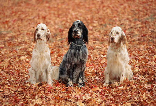 DOG 06 RK0059 03 © Kimball Stock English Setter Dogs Sitting On Fall Colored Leaves