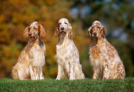 DOG 06 RK0060 07 © Kimball Stock Three English Setter Dogs Sitting Together On Grass Trees Background