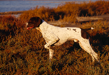 DOG 06 RK0067 06 © Kimball Stock Profile Of German Shorthaired Pointer Standing In Marsh