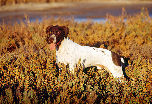 DOG 06 RK0067 26 © Kimball Stock Profile Of German Shorthaired Pointer Standing In Marsh