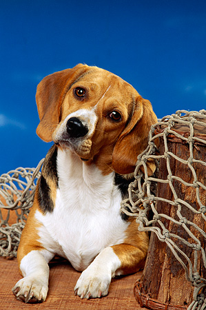 DOG 06 RK0070 09 © Kimball Stock Beagle Laying Underneath Fishing Net On Wooden Floor Blue Sky Background