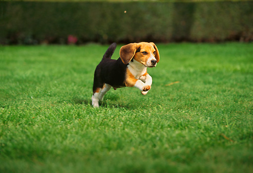 DOG 06 RK0088 04 © Kimball Stock Beagle Running On Grass