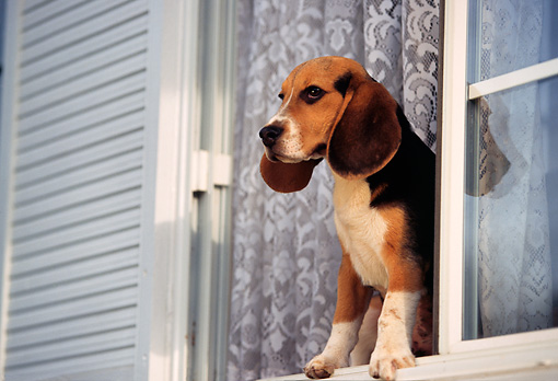 DOG 06 RK0093 06 © Kimball Stock Beagle Standing By Window Looking Out