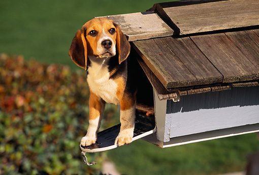 DOG 06 RK0123 05 © Kimball Stock Head Shot Of Beagle Sitting In Mailbox Looking Out