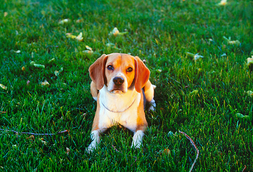 DOG 06 RK0148 02 © Kimball Stock Overhead View Of Beagle Laying On Grass