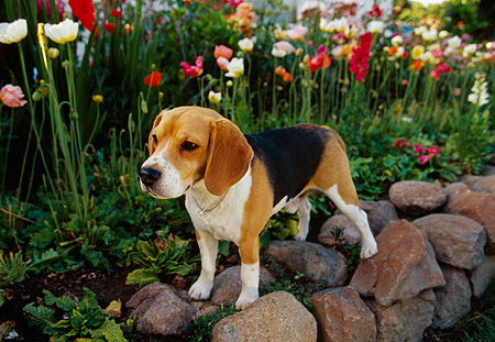 DOG 06 RK0159 03 © Kimball Stock Beagle Standing On Stone Wall By Flower Garden