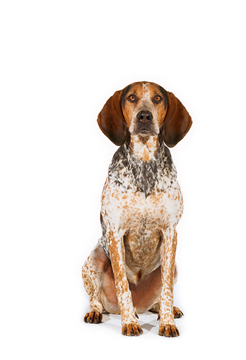 DOG 06 RK0199 02 © Kimball Stock English Coon Hound Sitting On White Seamless Studio