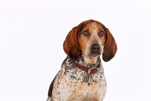 DOG 06 RK0205 16 © Kimball Stock Head Shot Of English Coon Hound White Seamless Studio