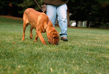 DOG 06 RK0214 12 © Kimball Stock Bloodhound On Leash Sniffing Grass With Owner At Park