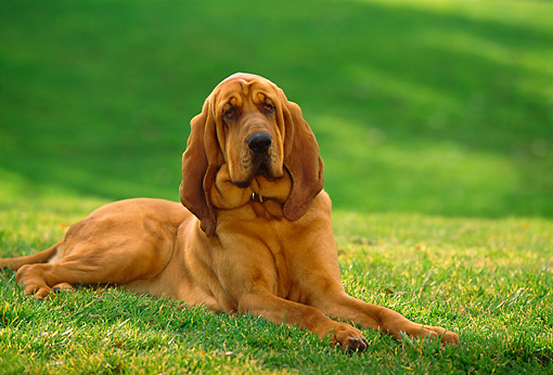 DOG 06 RK0215 15 © Kimball Stock Bloodhound Laying On Grass