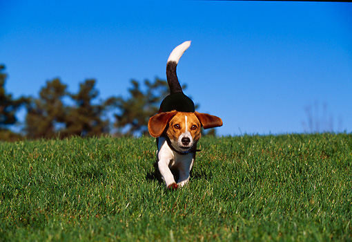 DOG 06 RK0220 10 © Kimball Stock Beagle Running On Grass Hill Trees Background Blue Sky