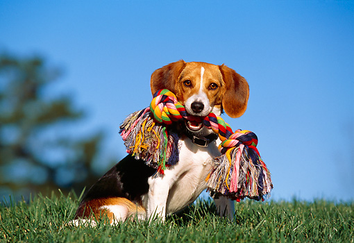 DOG 06 RK0221 08 © Kimball Stock Beagle Sitting On Grass With Toy In Mouth Blue Sky