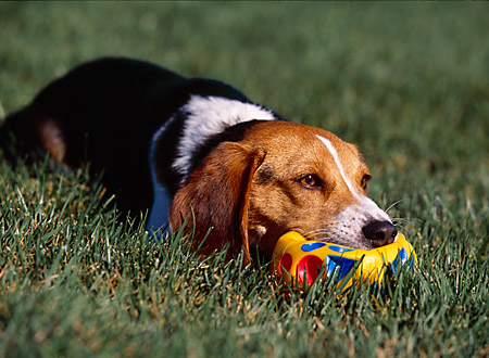 DOG 06 RK0223 02 © Kimball Stock Beagle Playing With Toy On Grass