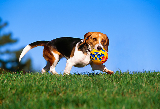 DOG 06 RK0224 01 © Kimball Stock Beagle With Toy Ball In Mouth Walking On Grass Blue Sky