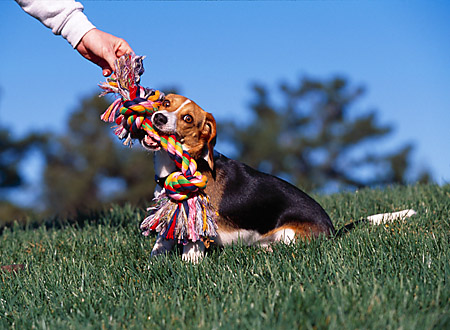 DOG 06 RK0225 03 © Kimball Stock Beagle Playing With Colorful Rope Toy On Grass Blue Sky