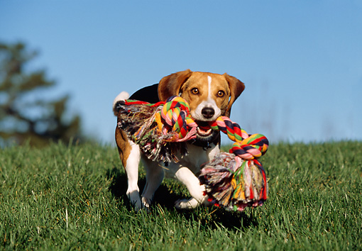 DOG 06 RK0225 08 © Kimball Stock Beagle Playing With Colorful Rope Toy On Grass Blue Sky
