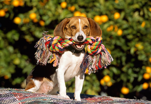 DOG 06 RK0226 08 © Kimball Stock Beagle Sitting With Rope Toy In Mouth