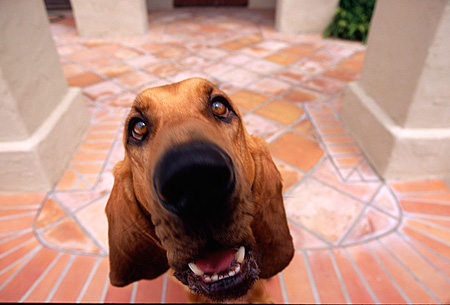 DOG 06 RK0240 10 © Kimball Stock Wide Angle Head Shot Of Bloodhound Sitting Facing Camera