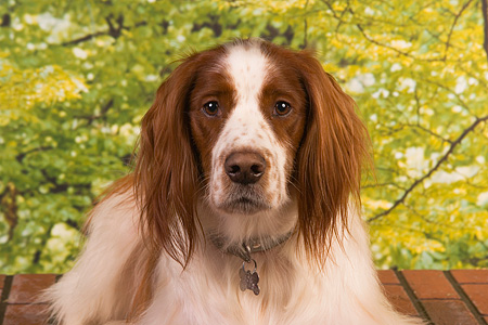 DOG 06 RK0248 01 © Kimball Stock Irish Setter Head Shot Trees Background