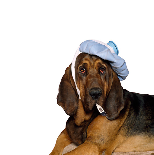 DOG 06 RK0252 01 © Kimball Stock Head Shot Of Bloodhound Laying With Ice Pack On Head Thermometer In Mouth Pink Seamless