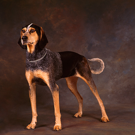DOG 06 RS0004 02 © Kimball Stock Portrait Of Black And Tan Coonhound