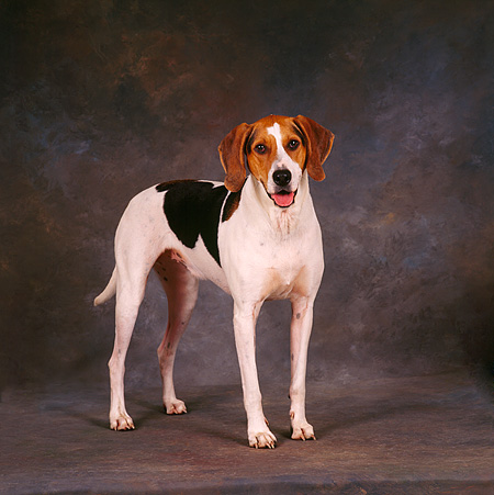 DOG 06 RS0006 06 © Kimball Stock Portrait Of Treeing Walker Coonhound