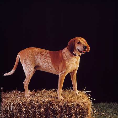DOG 06 RS0013 02 © Kimball Stock Profile Portrait Of Red Tick Coonhound On Hay Bale