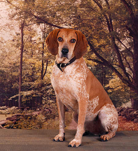 DOG 06 RS0015 01 © Kimball Stock Portrait Of Red Tick Coonhound Trees Background