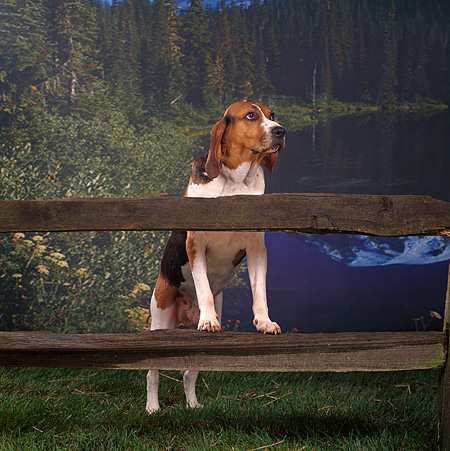 DOG 06 RS0016 02 © Kimball Stock Treeing Walker Coonhound Leaning On Fence By Lake And Trees