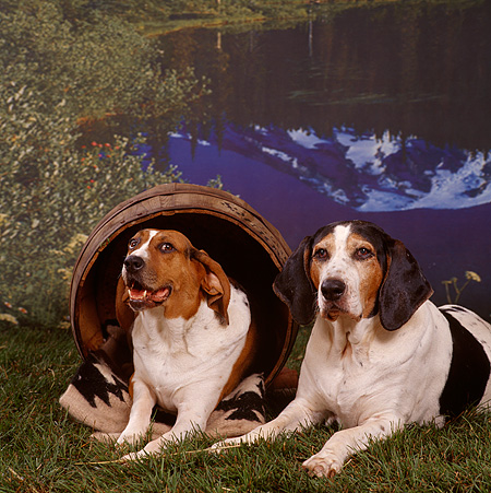 DOG 06 RS0017 03 © Kimball Stock Two Treeing Walker Coonhounds On Grass By Barrel