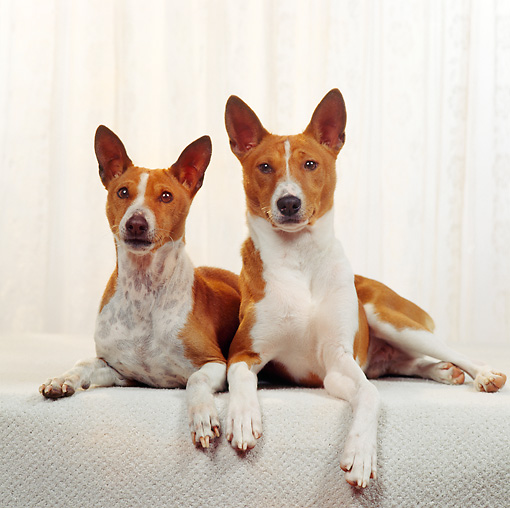 DOG 06 RS0020 01 © Kimball Stock Portrait Of Basenji Dogs