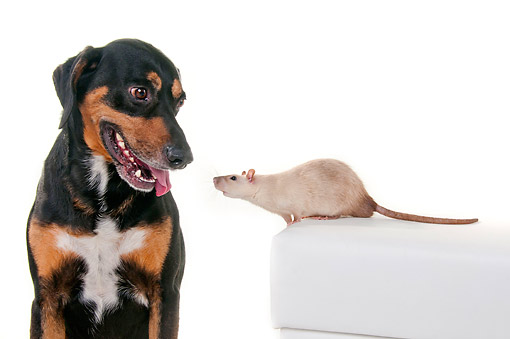 DOG 07 AC0007 01 © Kimball Stock Mixed Breed Dog And Domestic Rat Interacting In Studio