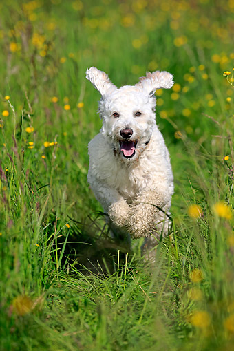 DOG 07 AC0017 01 © Kimball Stock Labradoodle Male Running In Grass In Germany